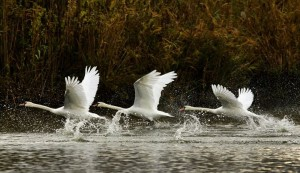 Danube Delta swans
