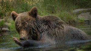 wildlife in romania bear